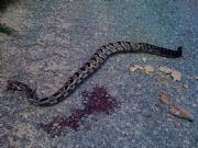Lake Martin Timber Rattle Snake